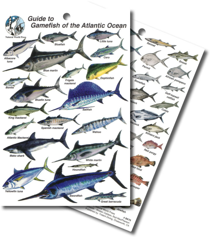 Atlantic ocean fish identification for Atlantic game fish
